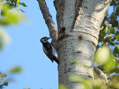 Hairy Woodpecker - adult male feeding juveniles in tree cavity nest (Photo by Don McLeod)