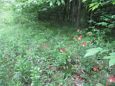 Red Columbine (Aquilegia canadensis) in Area 6 - Photo by Kathryn McHolm