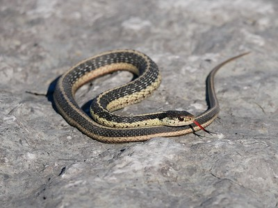Common Garter Snake