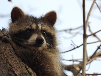 Raccoon , in Area 4 (Photo by Don McLeod)