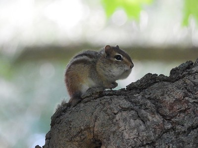 Eastern Chipmunk in Area 3 - Photo by Don McLeod