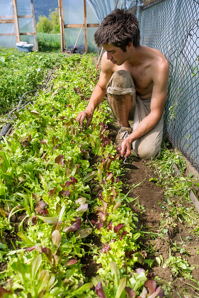Tim Travers hand-weeds lettace in Beth Gibbon's greenhouse. Hand weeding is an importnat part of organic farming.