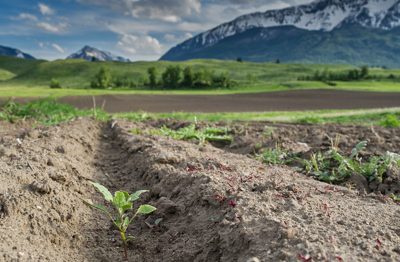 Organic quinoa is a new crop on Patrick Theil's  Prairie Creek farm.