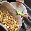 Sara Theil transfers freshly cut seed potatoes into sacks so they can be ready for planting.