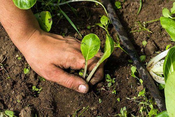 Observer Organic farming