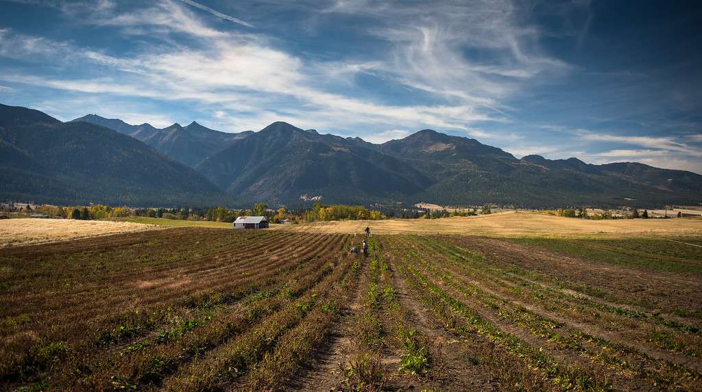 Beet harvest at Prarie Creek Farms is a very non-mechanized operation.