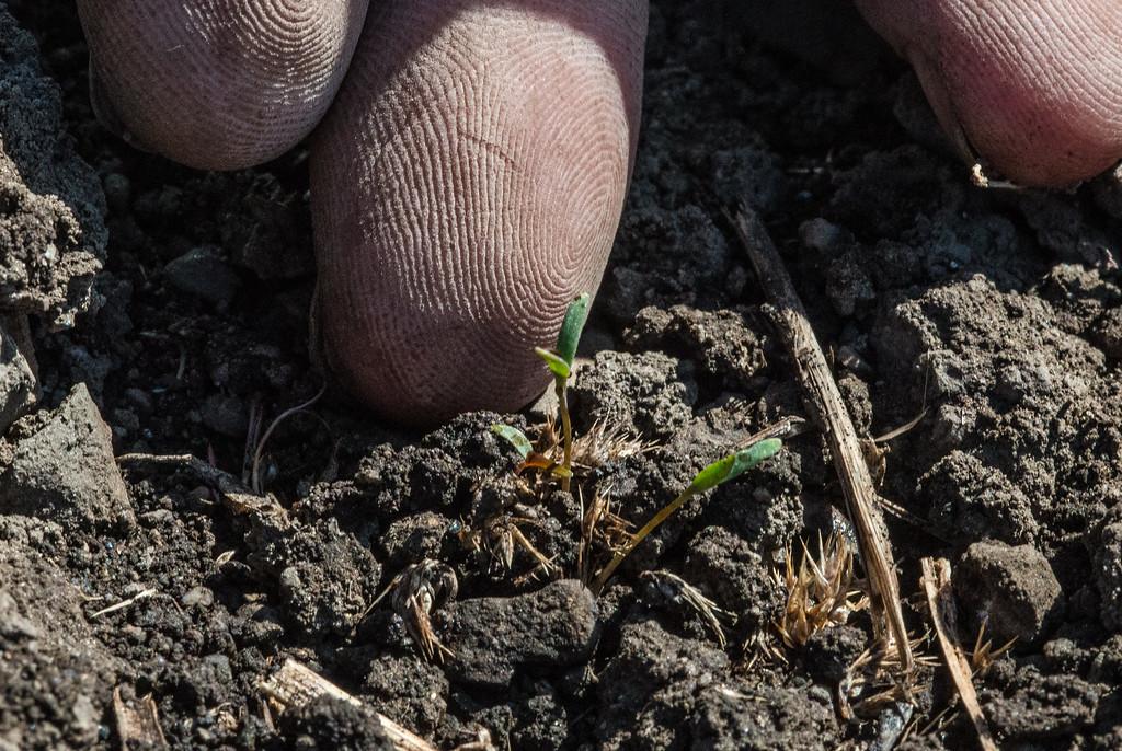 Ted Golder fertilizes each individual seedling of the organic the quinoa crop at Prairie Creek farms wiuth a kelp solution.