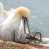 Gannets on Heligoland with Plastic Waste