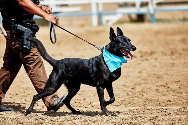Law Enforcement Officer walking a police dog