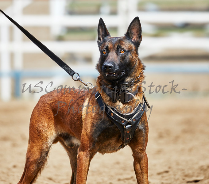Trained Police Dog on a Leash standing at Attention