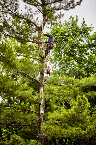 Professional Tree Trimmer climbing on a Tall Pine Tree