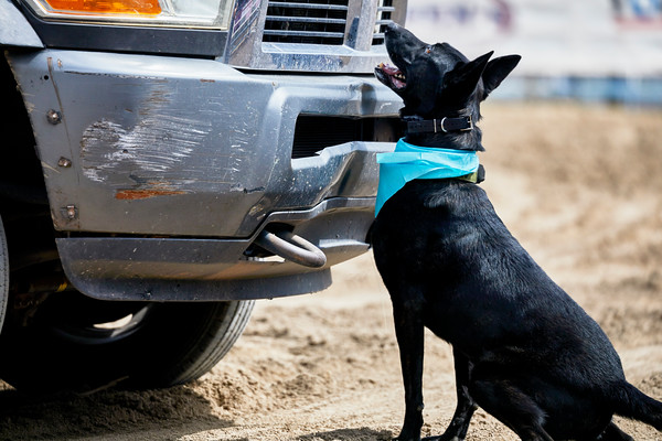 Trained Police Dog on Duty searching for Drugs in a Vehicle