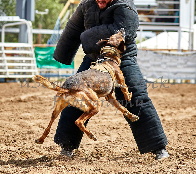 Trained Police dog attacking a suspect