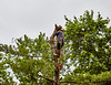 Tree Trimmer lifting cut Tree Trunk