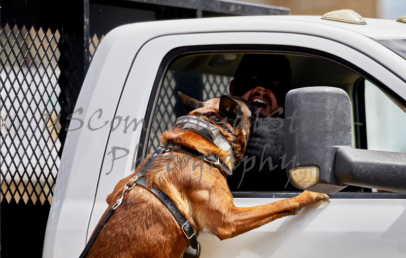 Trained Police dog attacking a suspect in a truck