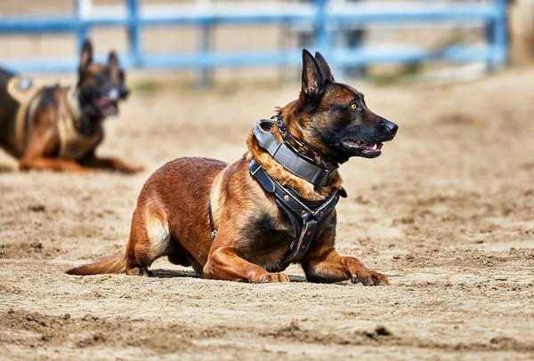 Trained Police dogs waiting for a command