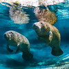 A pair of baby manatees rest in a crystal clear freshwater spring in Northern Florida.
