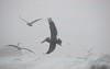 Pelican in the Mist III