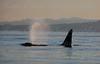Orca Spout
