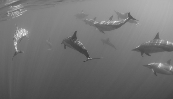 DOLPHINS BW