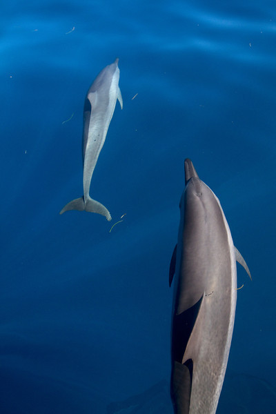 VERTICAL DOLPHINS