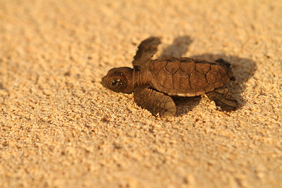 BABY TURTLE 2
