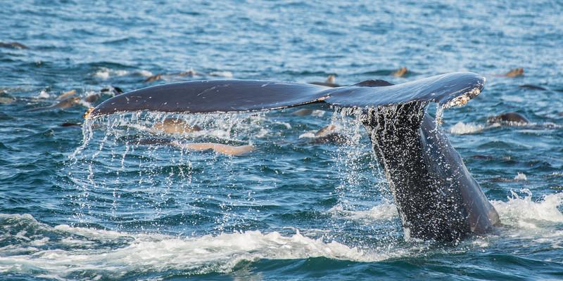 Humpback Whale, Monterey Bay, near Moss Landing, California, Santa Cruz County