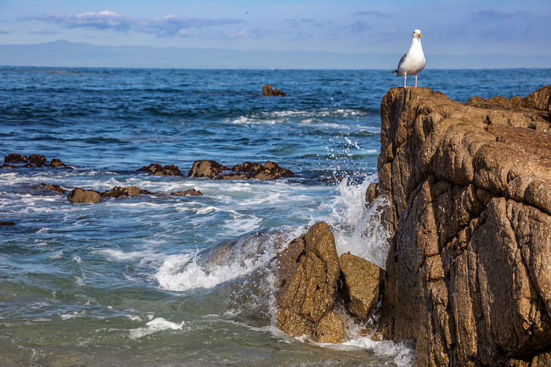 Pacific Grove Seagull 1
