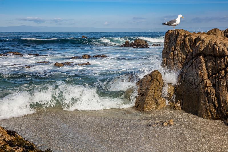 Pacific Grove Seagull 3