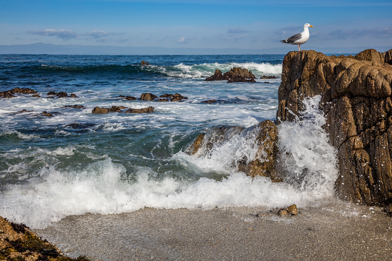 Pacific Grove Seagull 2