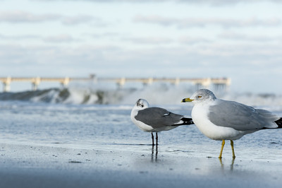 Seagulls and Surf.