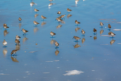 Sandpipers and reflections