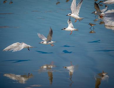 Forster's Terns Landing