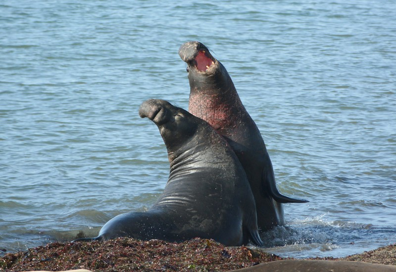 Adult Male Elephant Seals at Breeding Season