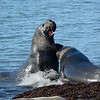 Fighting Elephant Seals during mating season