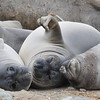 Three resting Elephant Seal Weaners