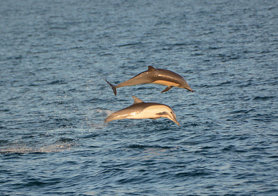 Acobatic Common Dolphin in the Sea of Cortez