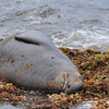 Elephant Seal Bull taking a snooze