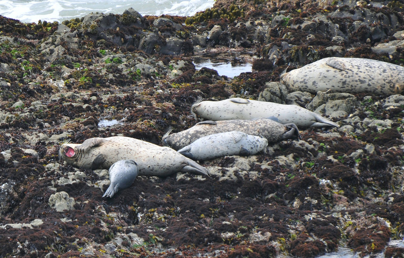 Harbor Seal Mother and pups