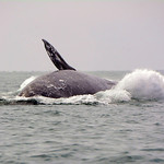 Breaching finale of a Gray Whale