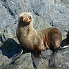 Cute young Guadalupe Fur Seal