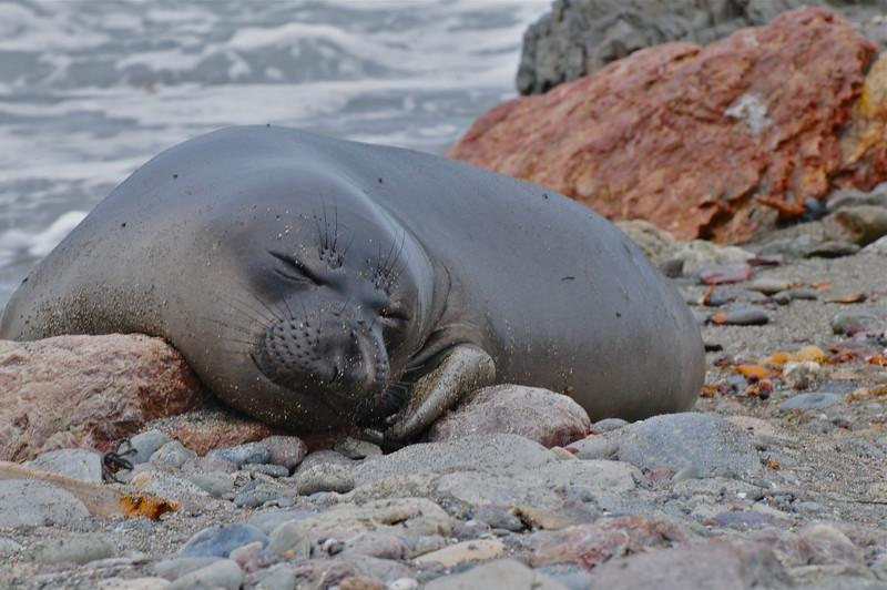 Young Elephant Seal Weaner Resting