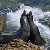 Guadalupe Fur Seals - San Benito Island