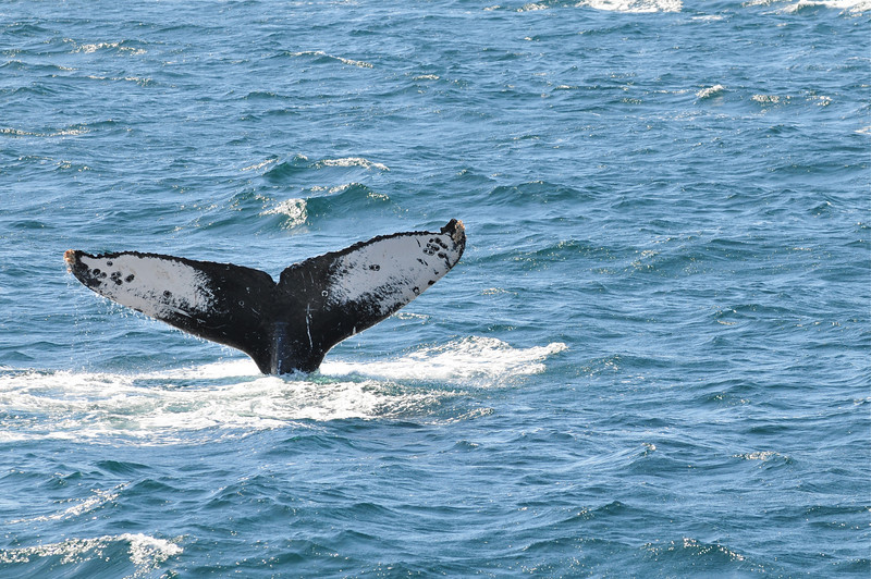 Humback Whale Fluke