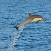 Common Dolphin in the Sea of Cortez