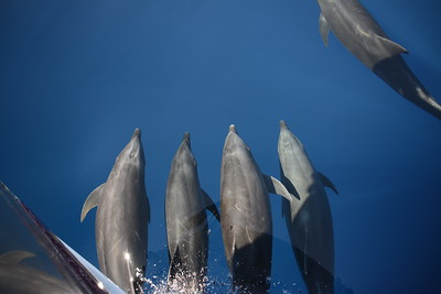 Group of dolphins off the bow of the Searcher.