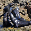 Guadalupe Fur Seals