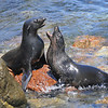 Guadalupe Fur Seals on San Benito Island