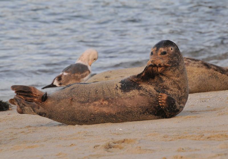 Adult female Harbor Seal