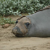 Elephant Seals molt once every year.  It's called catastrophic molt and comes off in large patches.